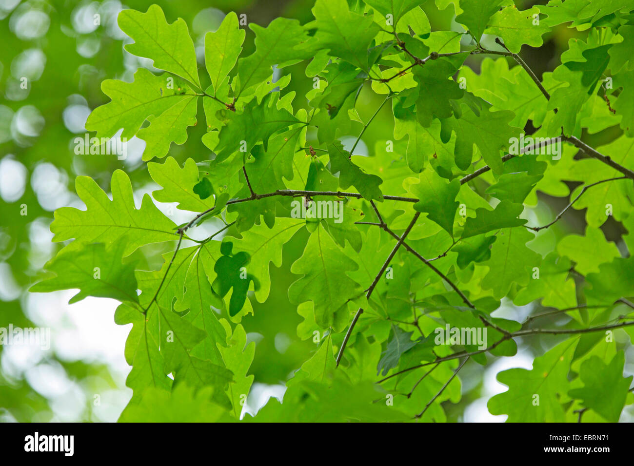 white oak (Quercus alba), leaves, USA, Tennessee, Great Smoky Mountains National Park - Stock Image