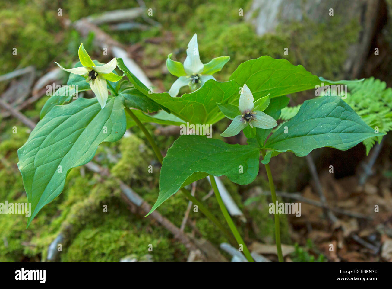 stinking-benjamin, ill-scent trillium (Trillium erectum), blooming, USA, Tennessee, Great Smoky Mountains National - Stock Image