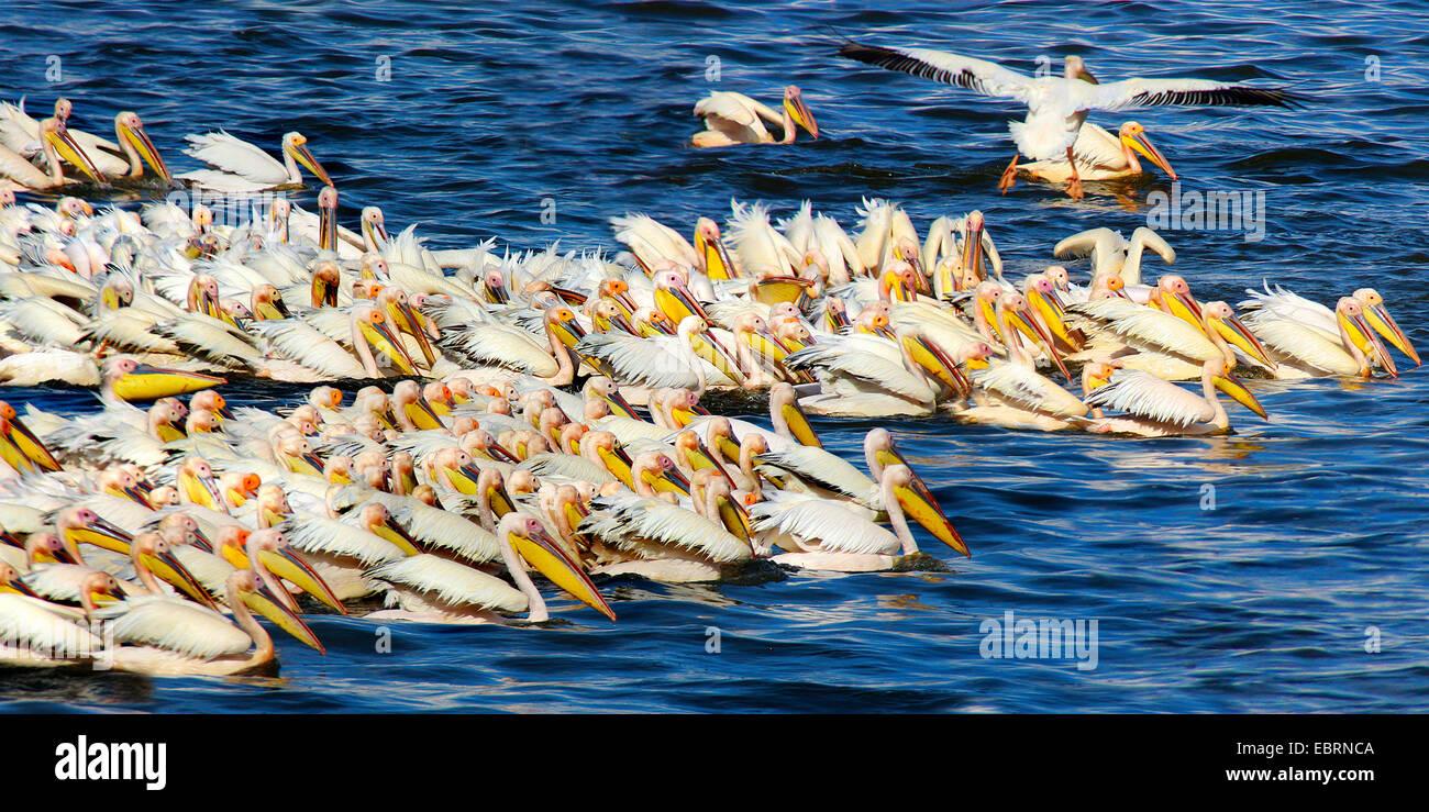 eastern white pelican (Pelecanus onocrotalus), troop fishing, group hunting at the Lake Nakuru, Kenya - Stock Image