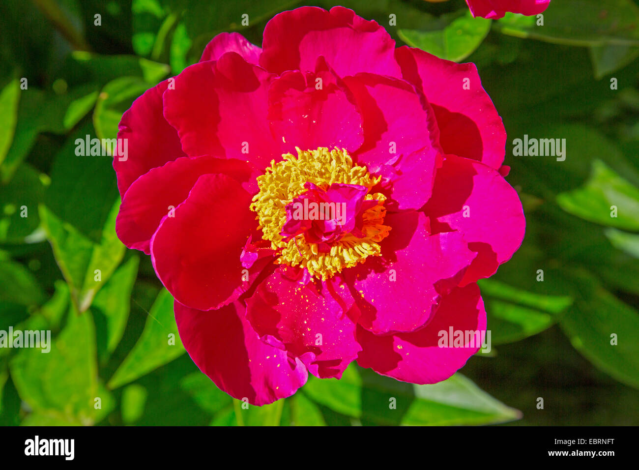 paeony (Paeonia officinalis), single flower - Stock Image