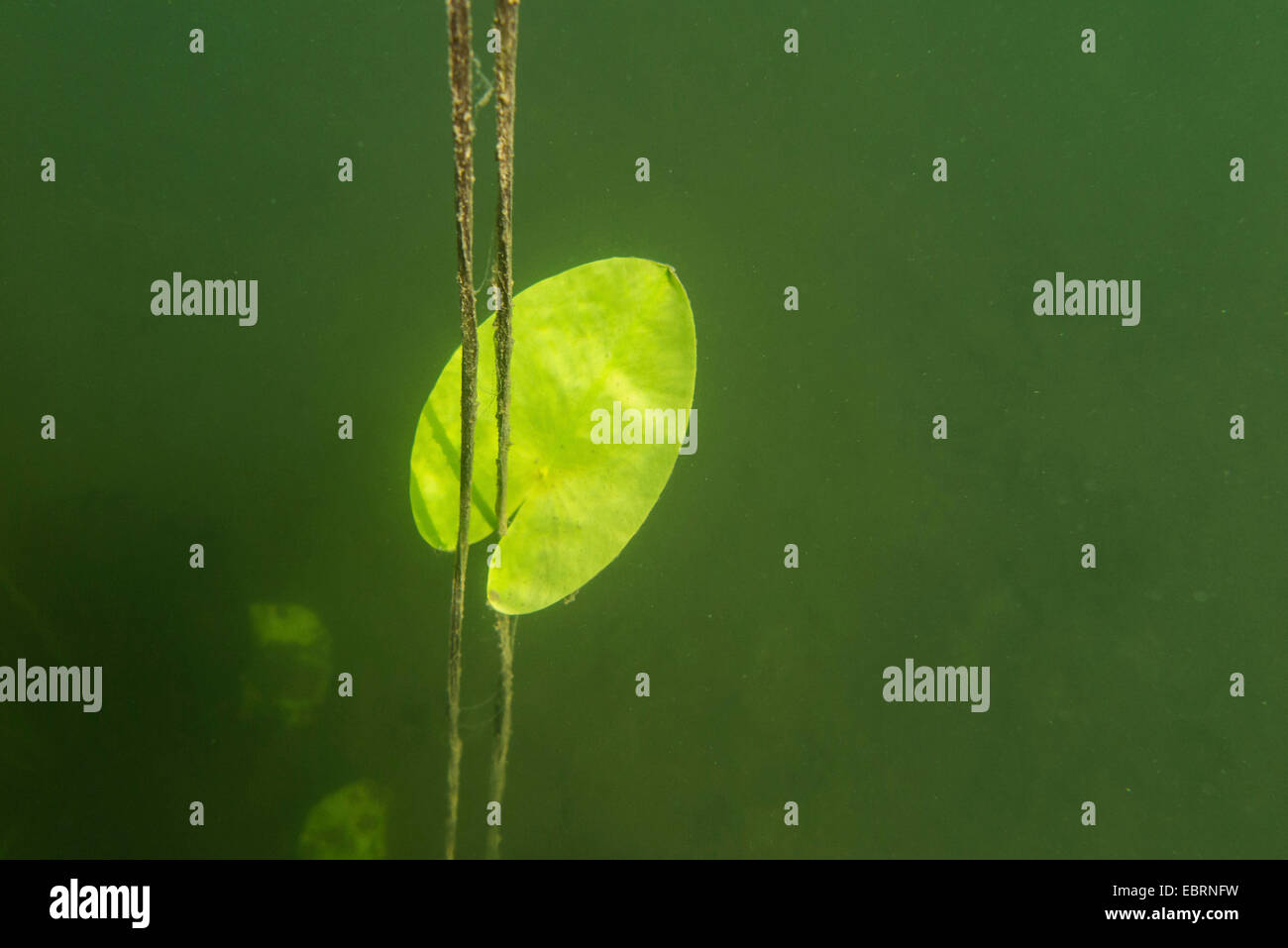 white water-lily, white pond lily (Nymphaea alba), leaf under water, Germany, Bavaria, Langbuergener See Stock Photo