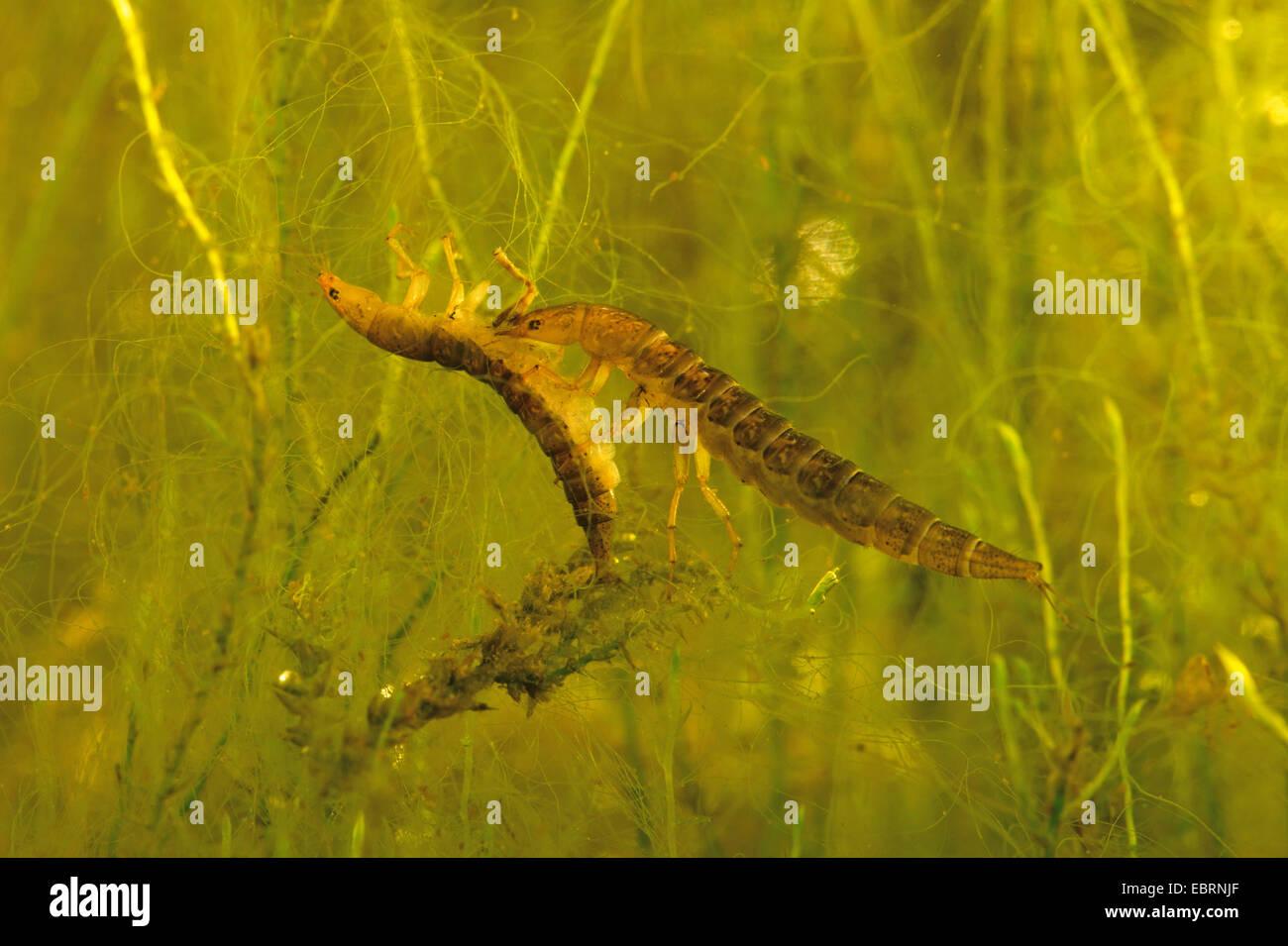 water scavenger beetles, herbivorous water beetles (Hydrophilidae), larva feeds on caught conspecific - Stock Image