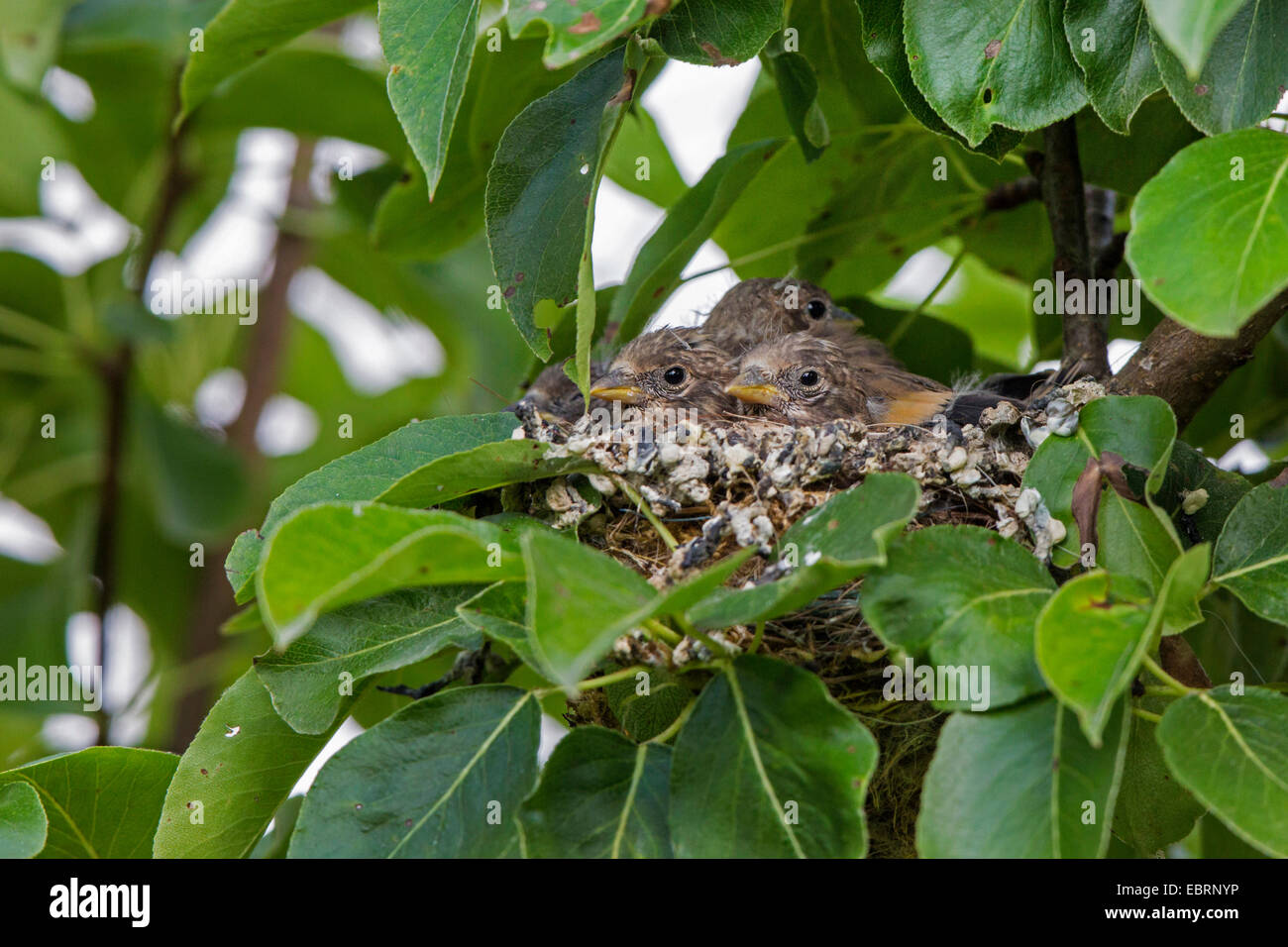Eurasian goldfinch (Carduelis carduelis), fledged squeakers in their nest, Germany, Bavaria - Stock Image