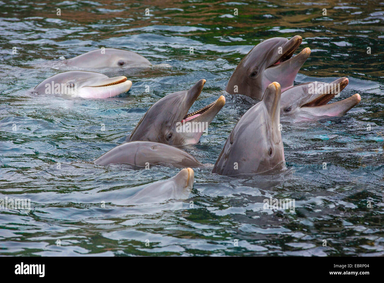 Bottlenosed dolphin, Common bottle-nosed dolphin (Tursiops truncatus), eight dolphins looking out of the water - Stock Image