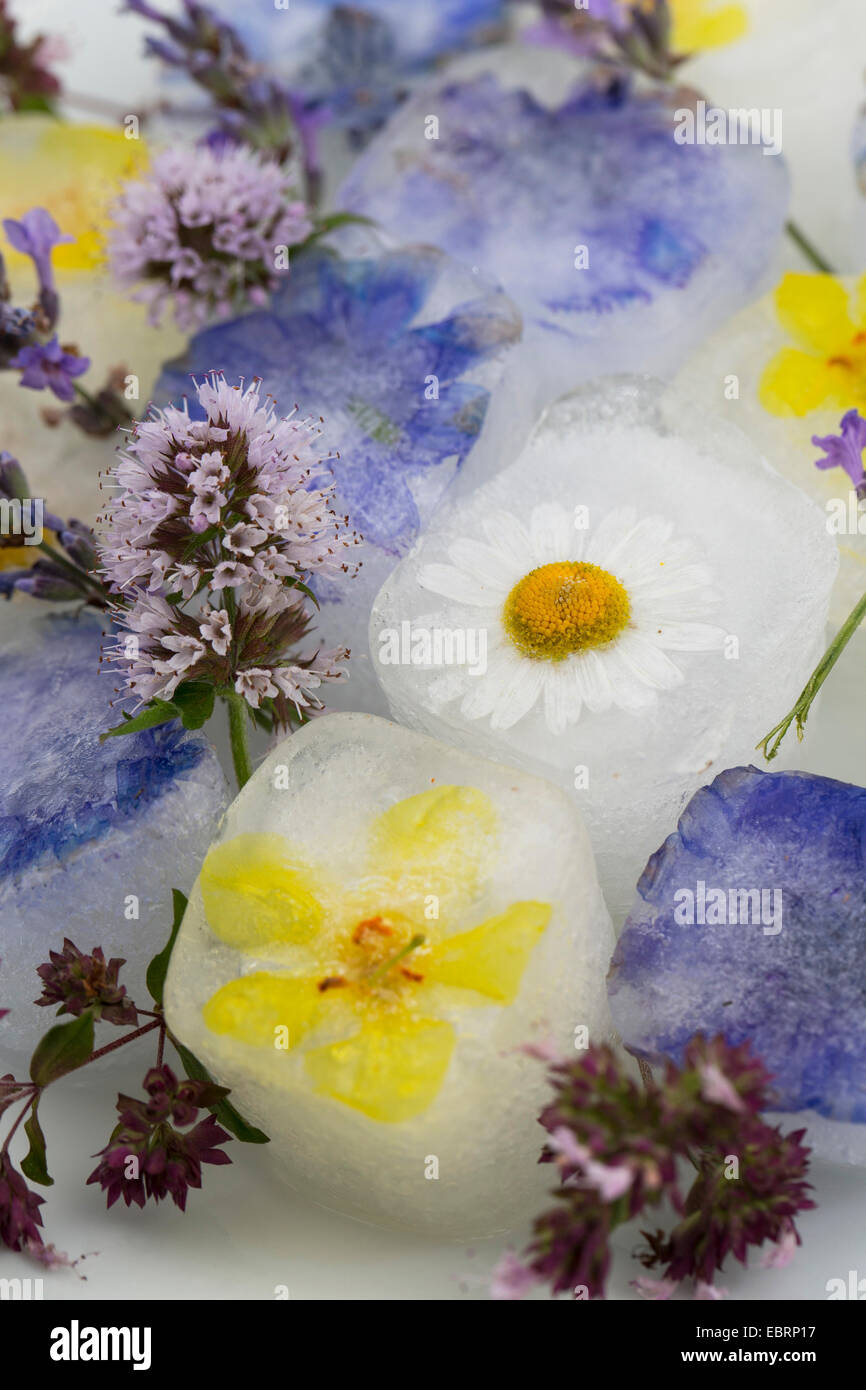 blossom ice cubes, flavoured with eatable blossoms - Stock Image