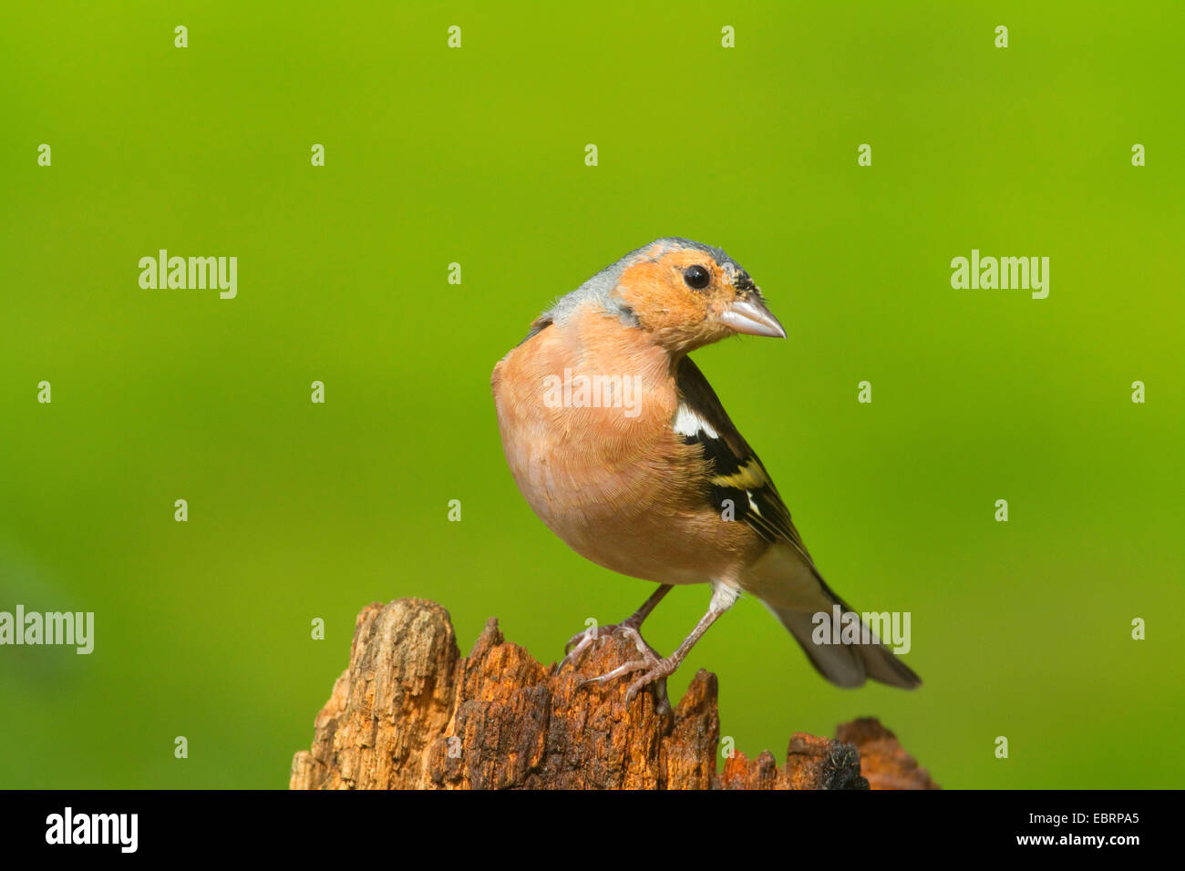 chaffinch (Fringilla coelebs), male on a tree snag, Germany, North Rhine-Westphalia - Stock Image