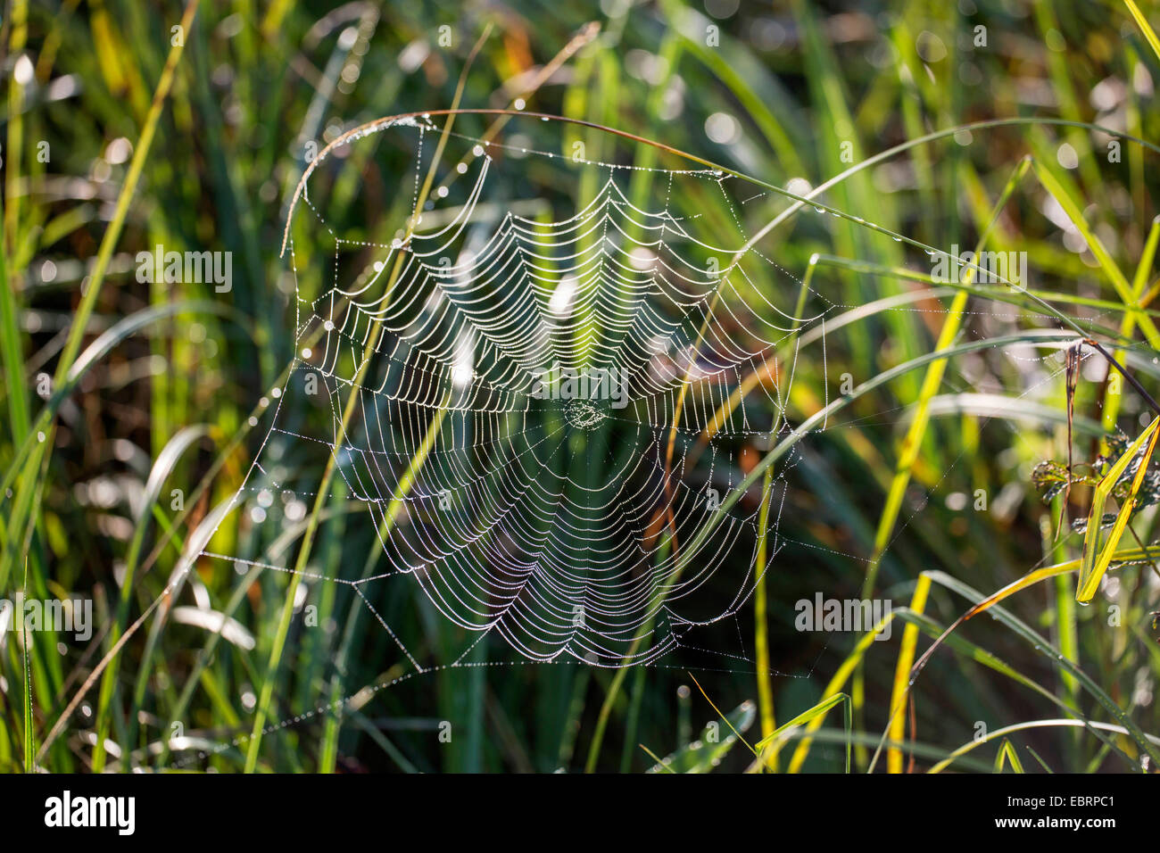 orbweavers, orb-weaving spiders (broad-bodied orbweavers) (Araneidae), spider web with morning dew, Germany, Bavaria - Stock Image