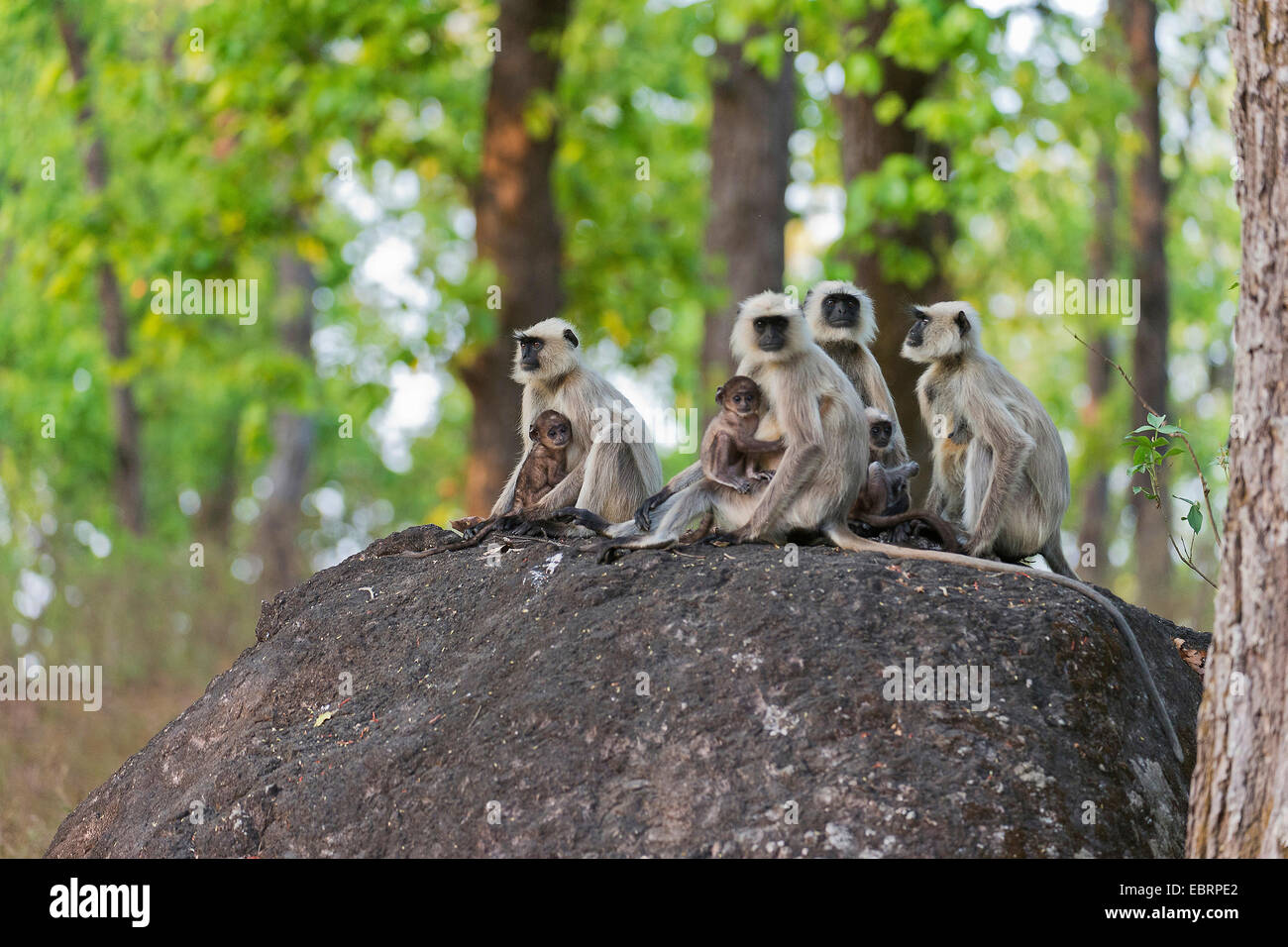 Southern plains gray langur, Gray langur monkey (Semnopithecus dussumieri), females sitting with their young animals - Stock Image