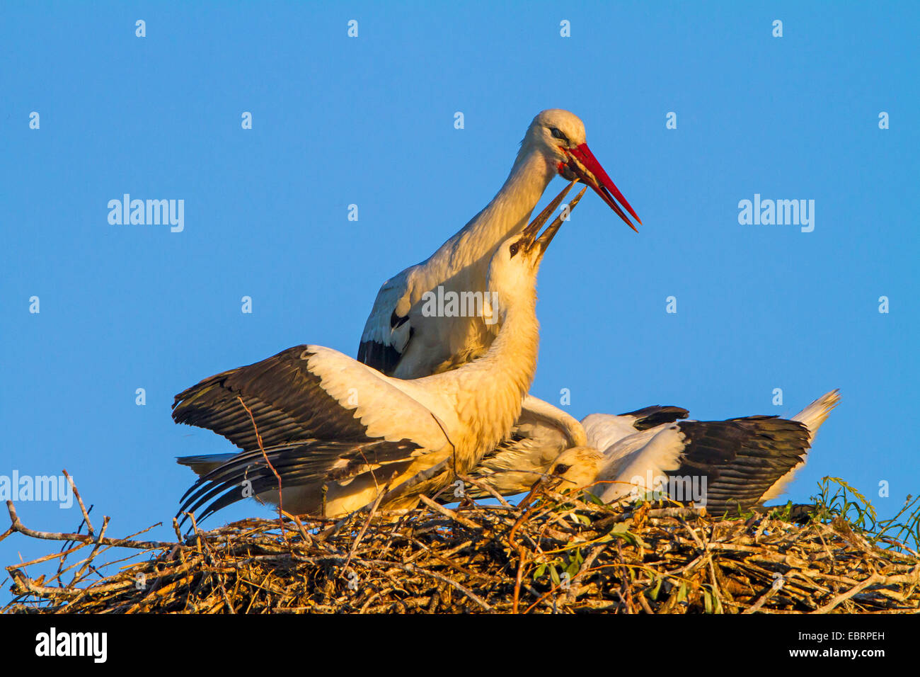 white stork (Ciconia ciconia), feeding of the two young storks on the aerie, Switzerland, Sankt Gallen Stock Photo