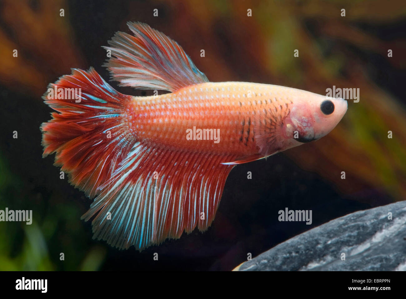 Siamese fighting fish, Siamese fighter (Betta splendens), breed Halfmoon Mirabelle - Stock Image