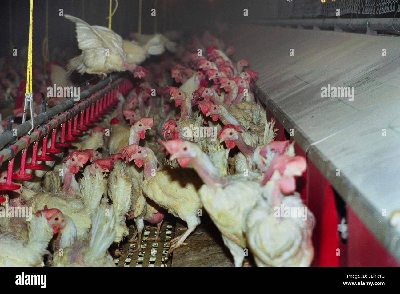 domestic fowl (Gallus gallus f. domestica), thousands of broiler chickens jammed together in a hen house in industrial - Stock Image