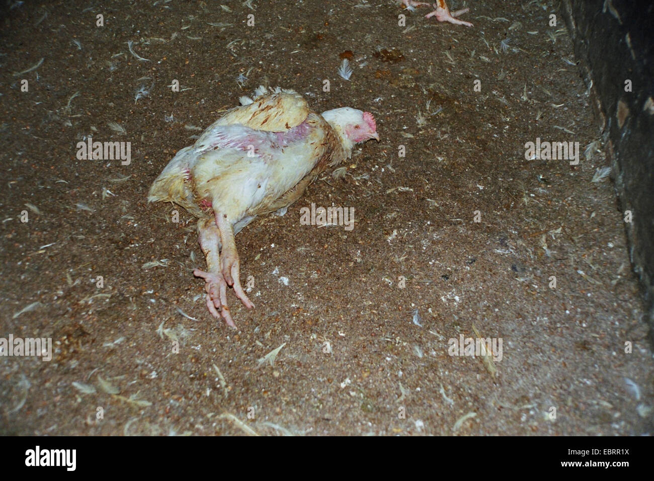 domestic fowl (Gallus gallus f. domestica), one of many broiler chickens dying during industrial farming is lying - Stock Image