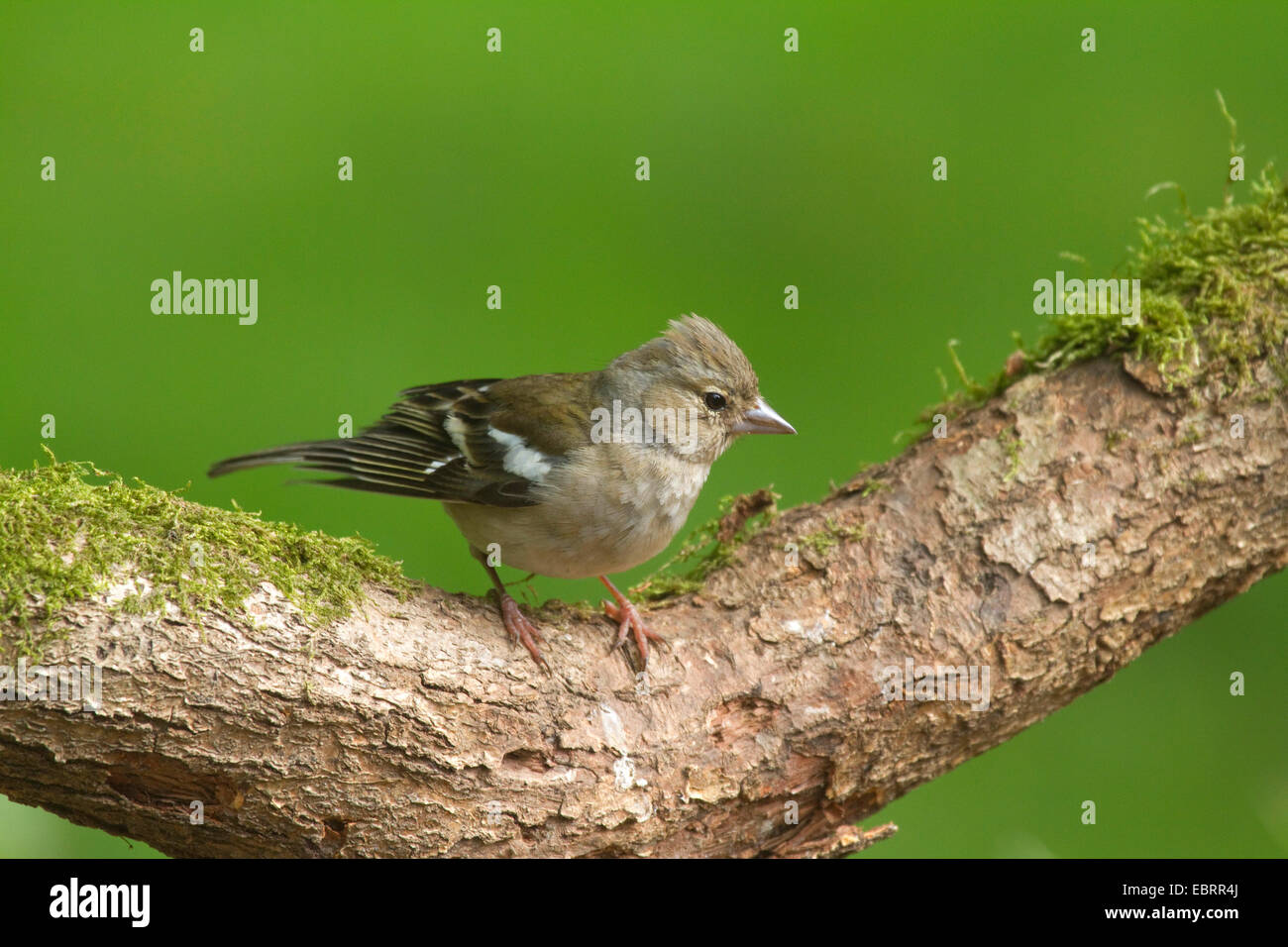 chaffinch (Fringilla coelebs), female on a branch, Germany, North Rhine-Westphalia - Stock Image