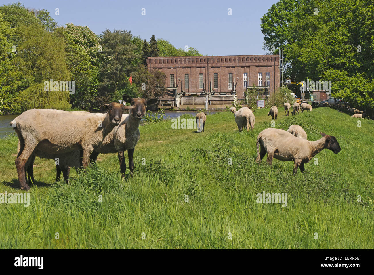 domestic sheep (Ovis ammon f. aries), herd on the dyke at the hydroelectric power station at river Hunte, Germany, - Stock Image