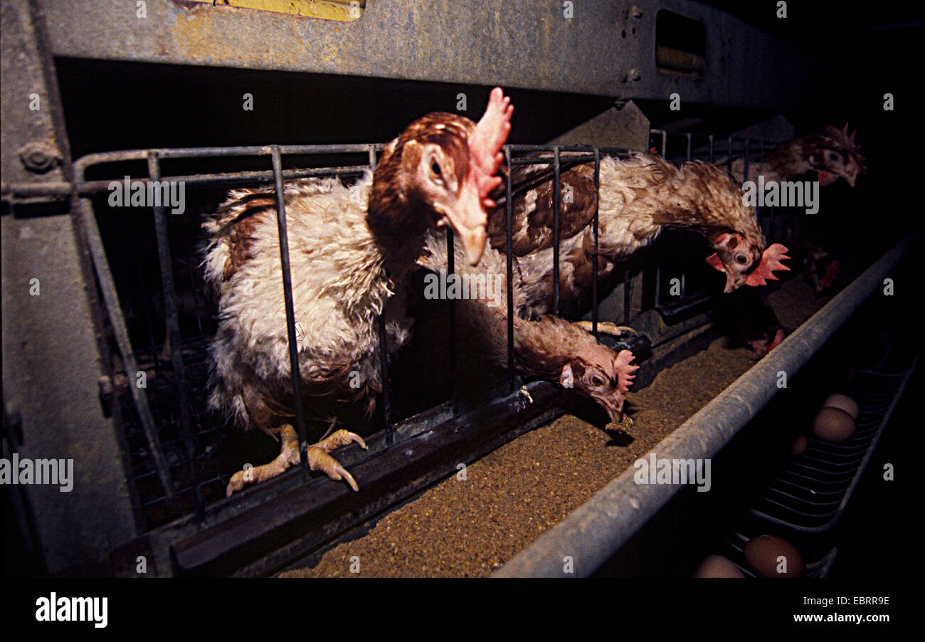 , completely neglected laying hens in a battery farm,  , - Stock Image