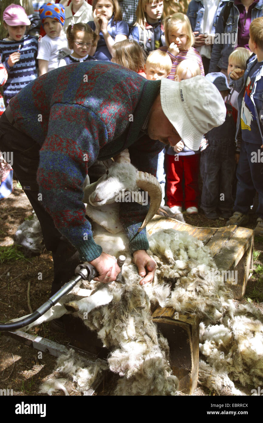 domestic sheep (Ovis ammon f. aries), shepherd showing children how to clip a sheep with an electric clipper, Germany - Stock Image