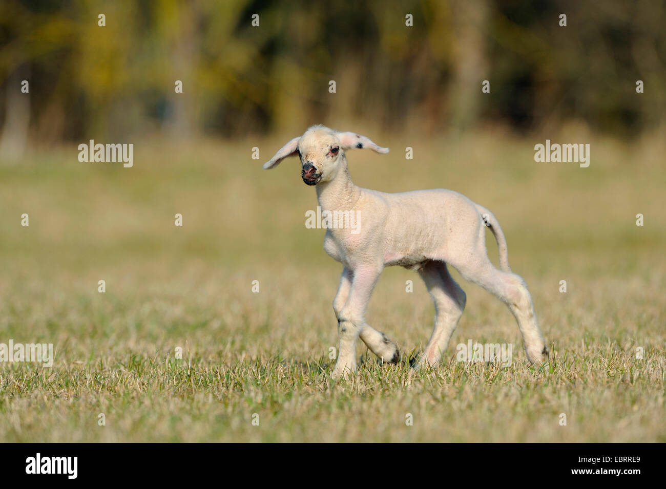 domestic sheep (Ovis ammon f. aries), lamb on pasture, Germany Stock Photo
