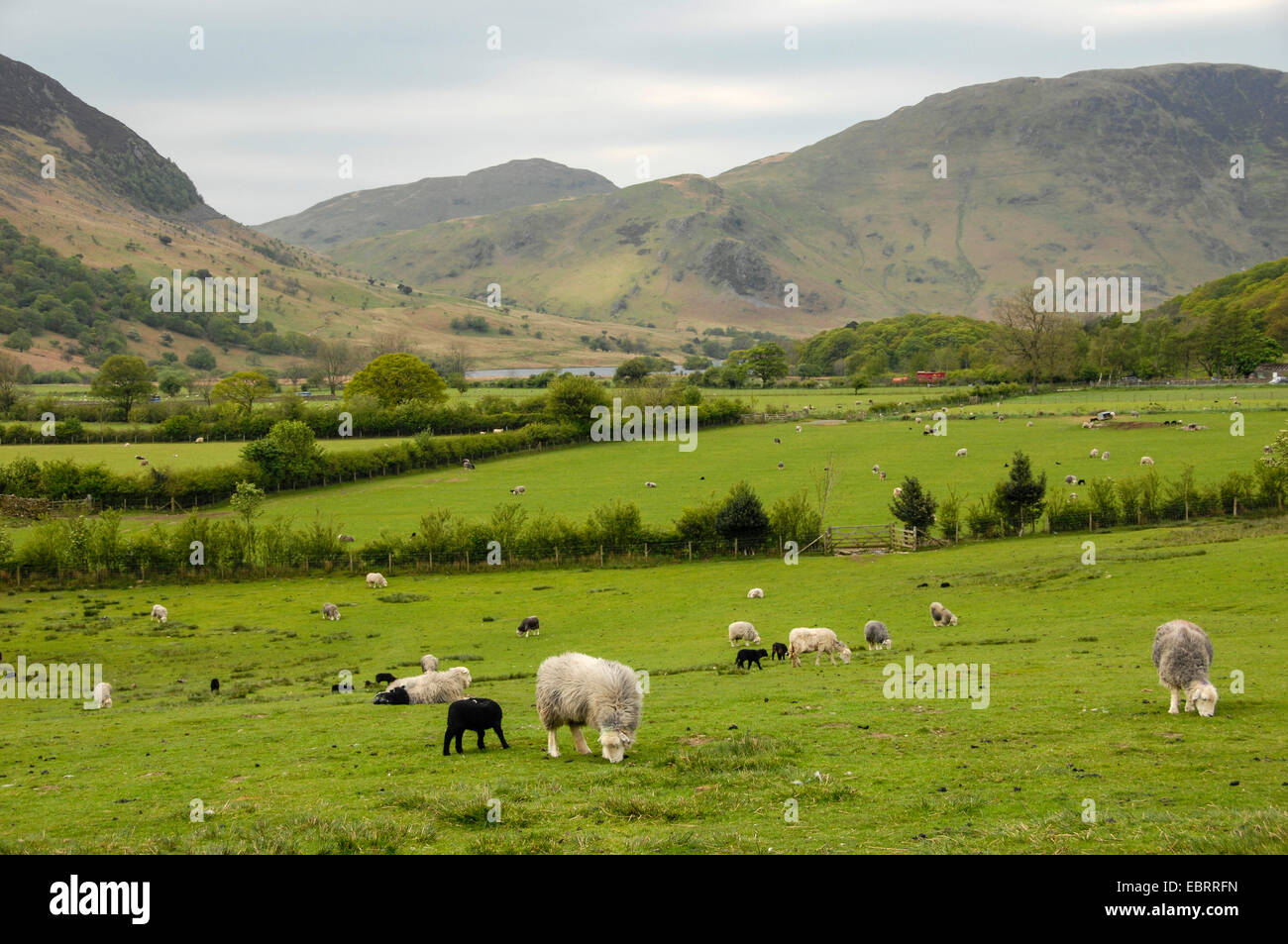 domestic sheep (Ovis ammon f. aries), flocks in an extensive meadow landscape in the Lake District, United Kingdom, - Stock Image