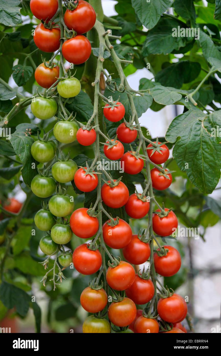 garden tomato (Solanum lycopersicum 'Picolino', Solanum lycopersicum Picolino, Lycopersicon esculentum), - Stock Image