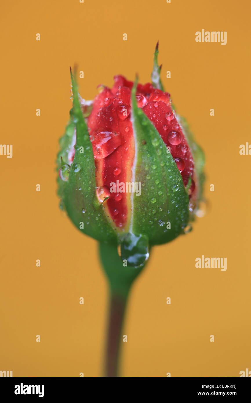 ornamental rose (Rosa spec.), breaking open red rose - Stock Image