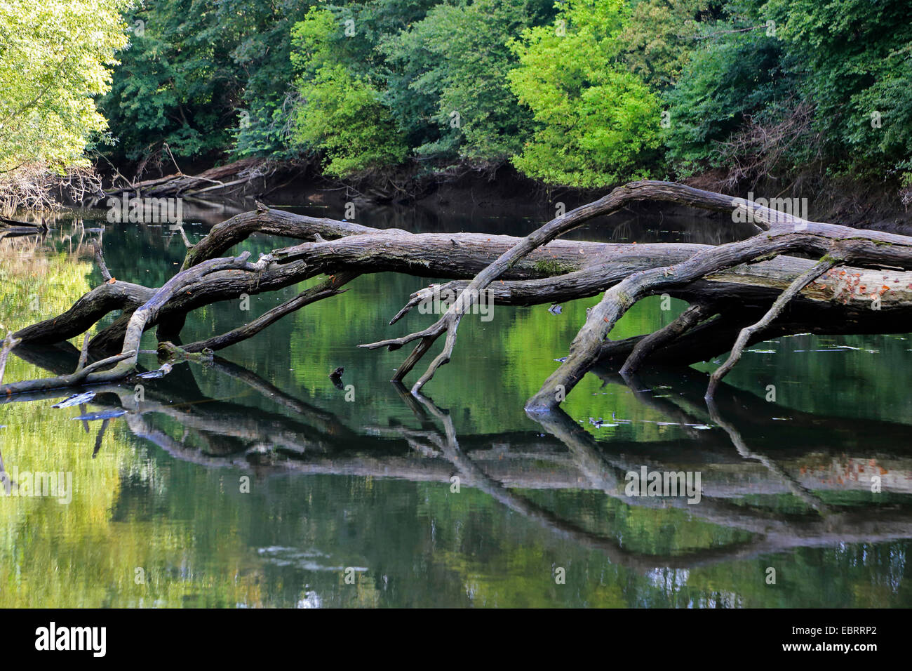 floodplain forest with dead fallen tree in the summer, Germany - Stock Image