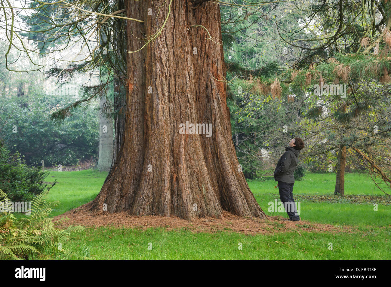 giant sequoia, giant redwood (Sequoiadendron giganteum), woman looking up a tree trunk, Germany, Mecklenburg-Western - Stock Image