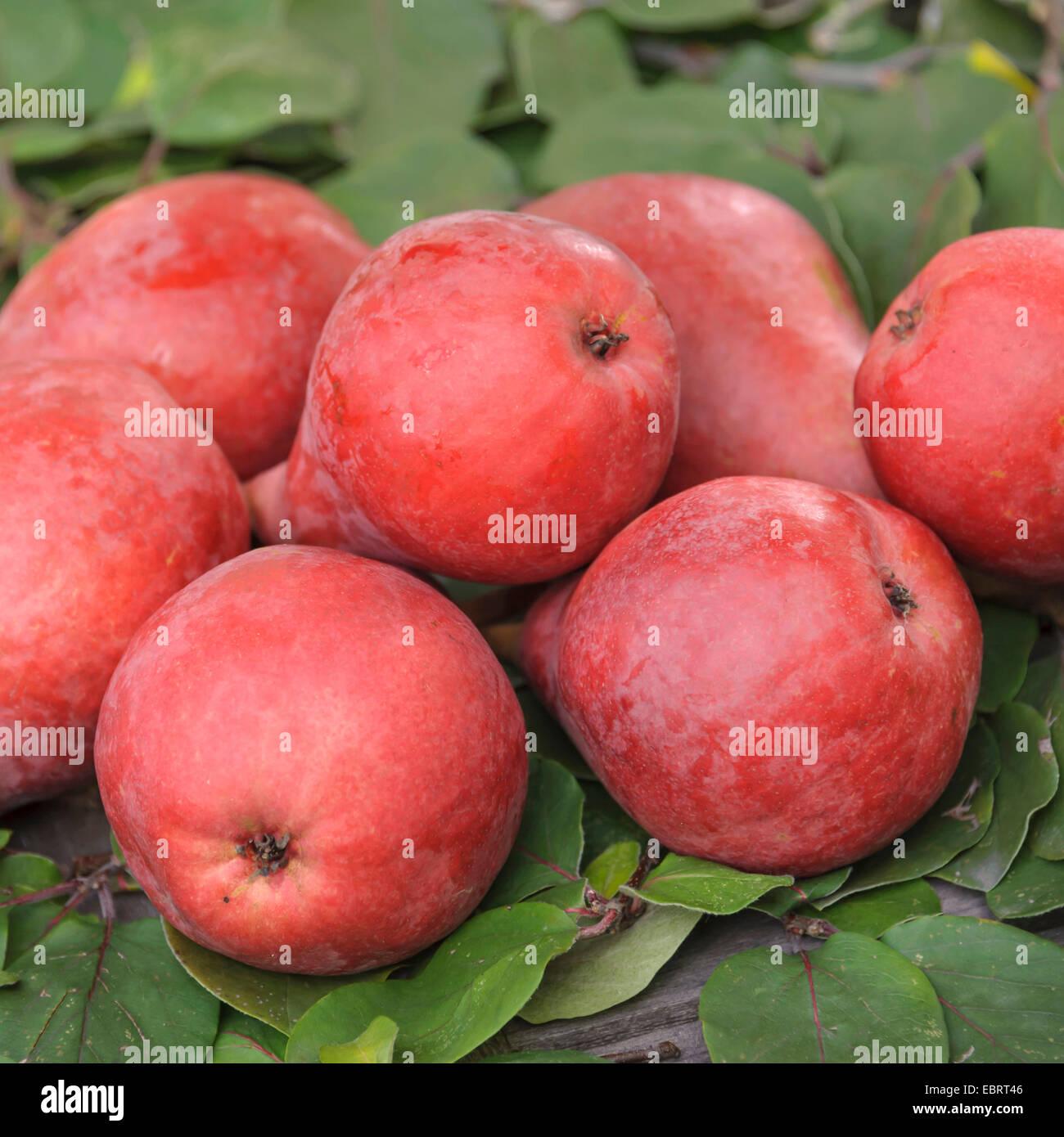 Common pear (Pyrus communis 'Starkrimson', Pyrus communis Starkrimson), pears of cultivar Starkrimson - Stock Image