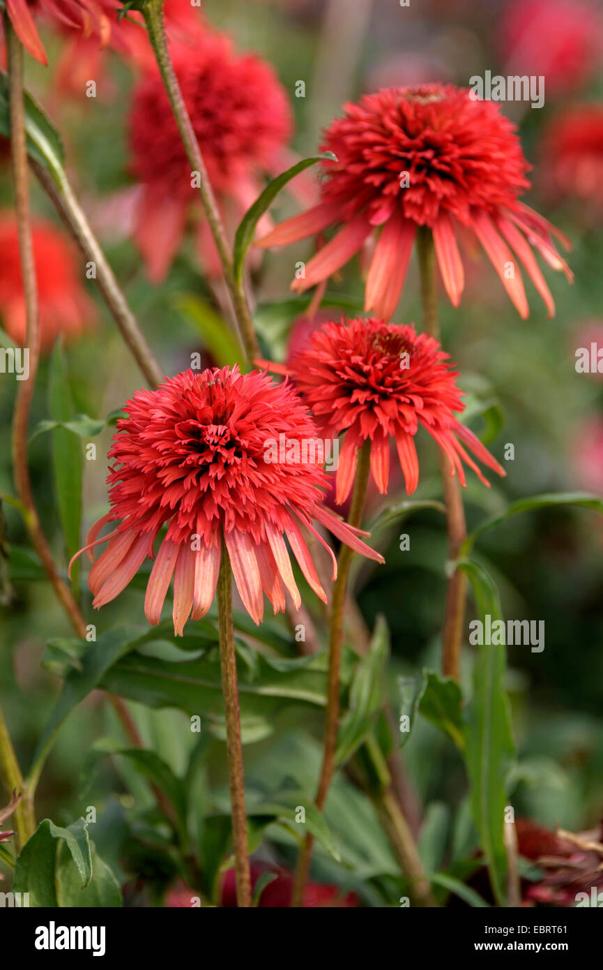 Purple Cone Flower, Eastern purple-coneflower, Purple-coneflower (Echinacea purpurea 'Hot Papaya', Echinacea - Stock Image