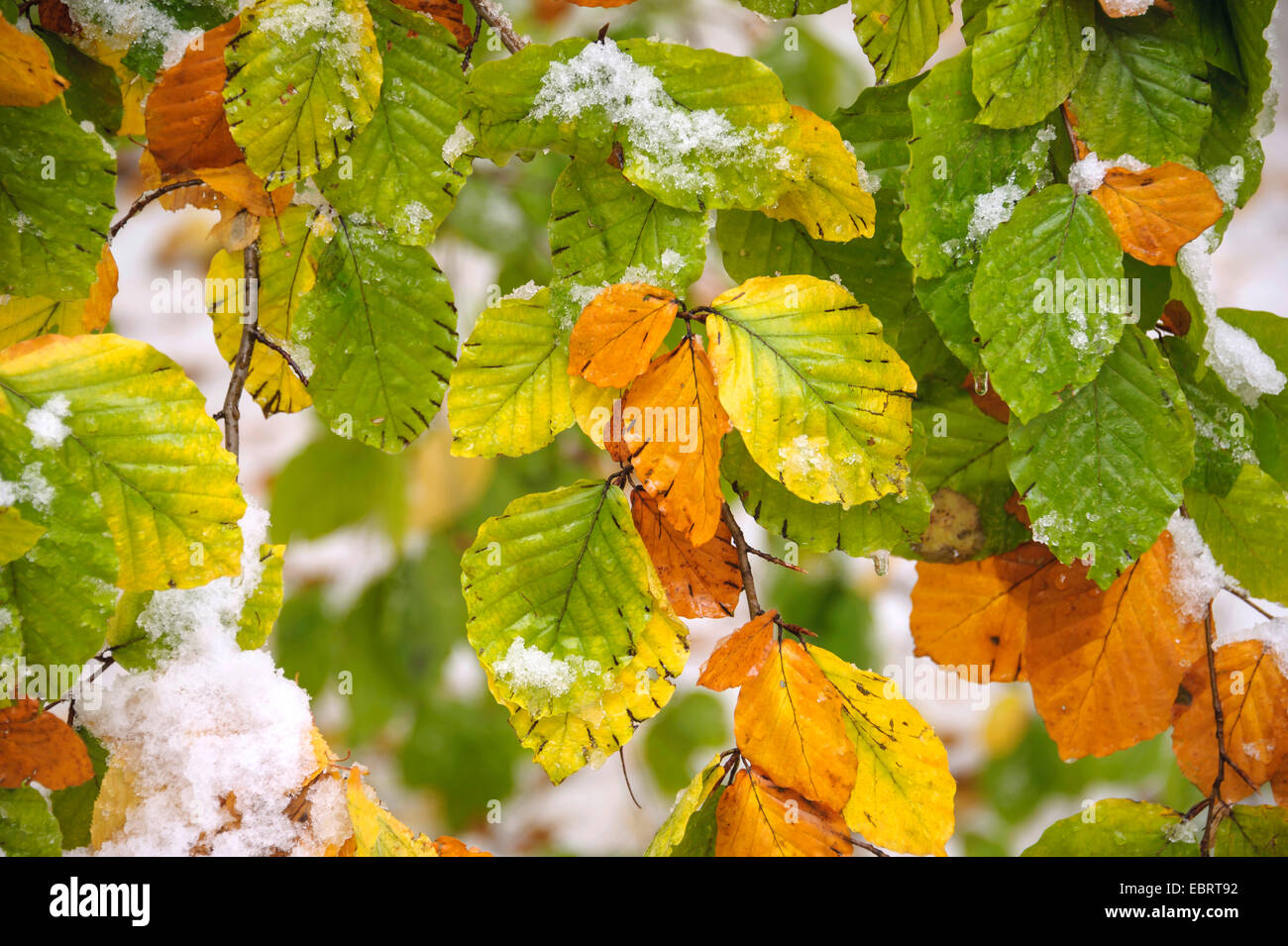 common beech (Fagus sylvatica), autumn leaves with snow, Germany, Saxony - Stock Image