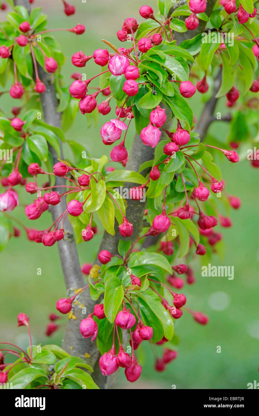 Ornamental apple tree (Malus 'Van Eseltine', Malus Van Eseltine), cultivar Van Eseltine in bud - Stock Image