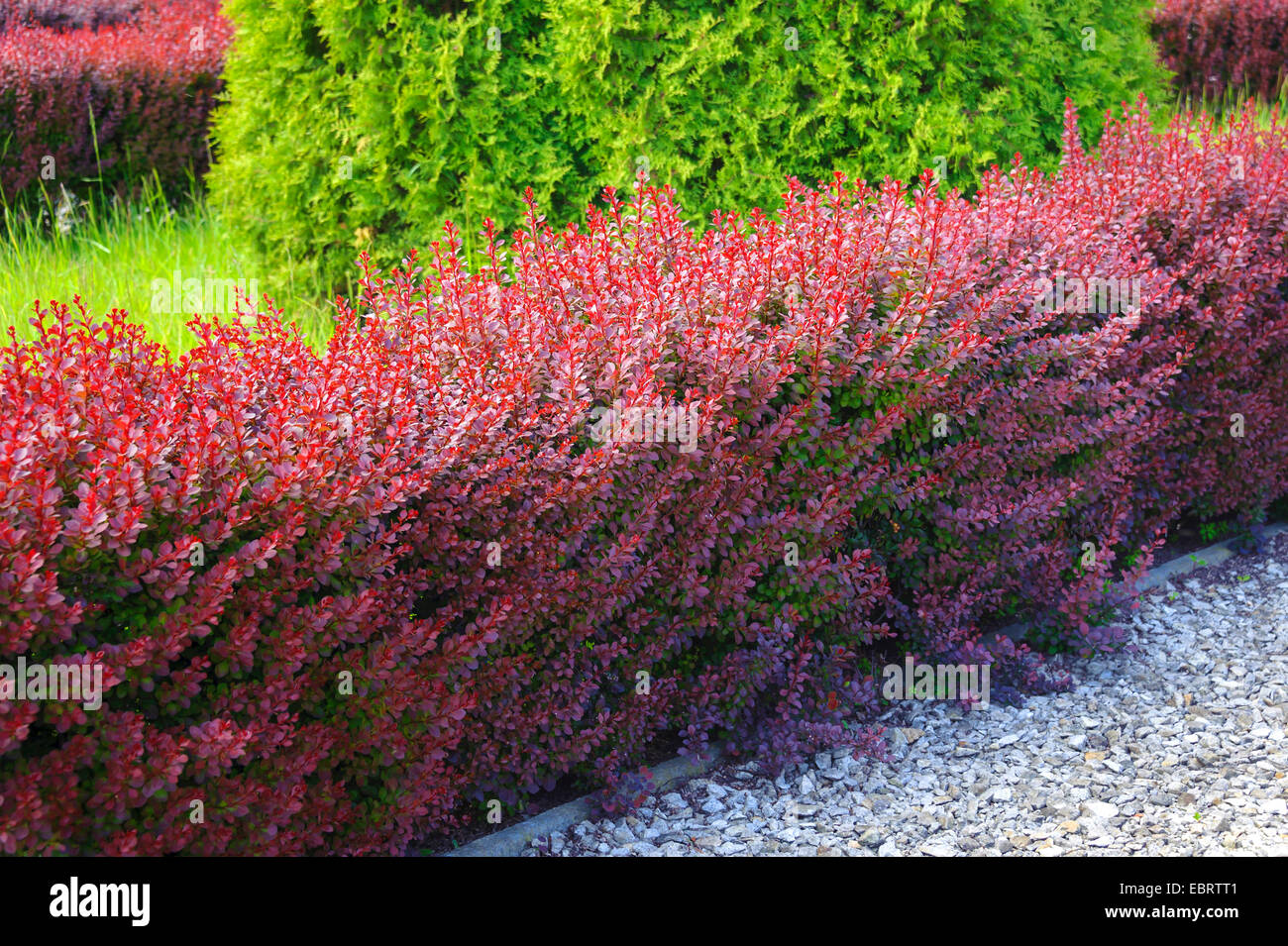 japanese barberry berberis thunbergii var atropurpurea berberis stock photo 76127073 alamy. Black Bedroom Furniture Sets. Home Design Ideas