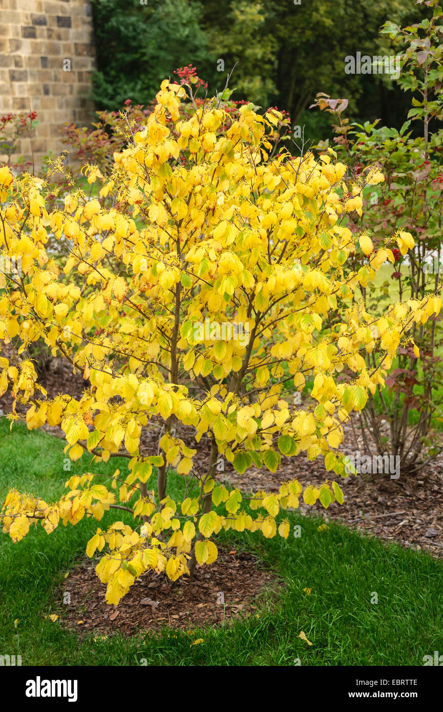 Witch Hazel American Witch Hazel Hamamelis Virginiana In