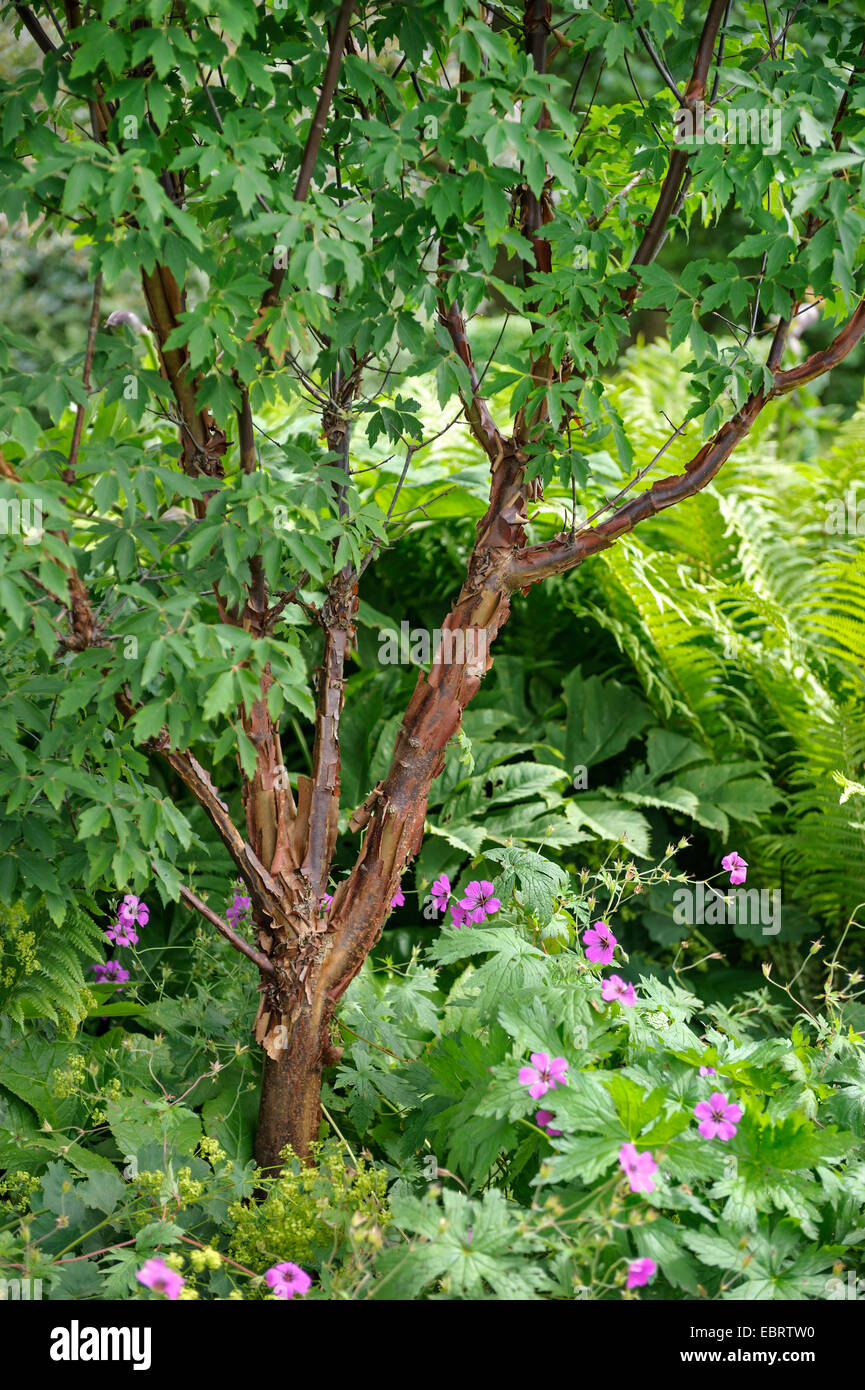 paperbark maple (Acer griseum), in a ornamental garden - Stock Image