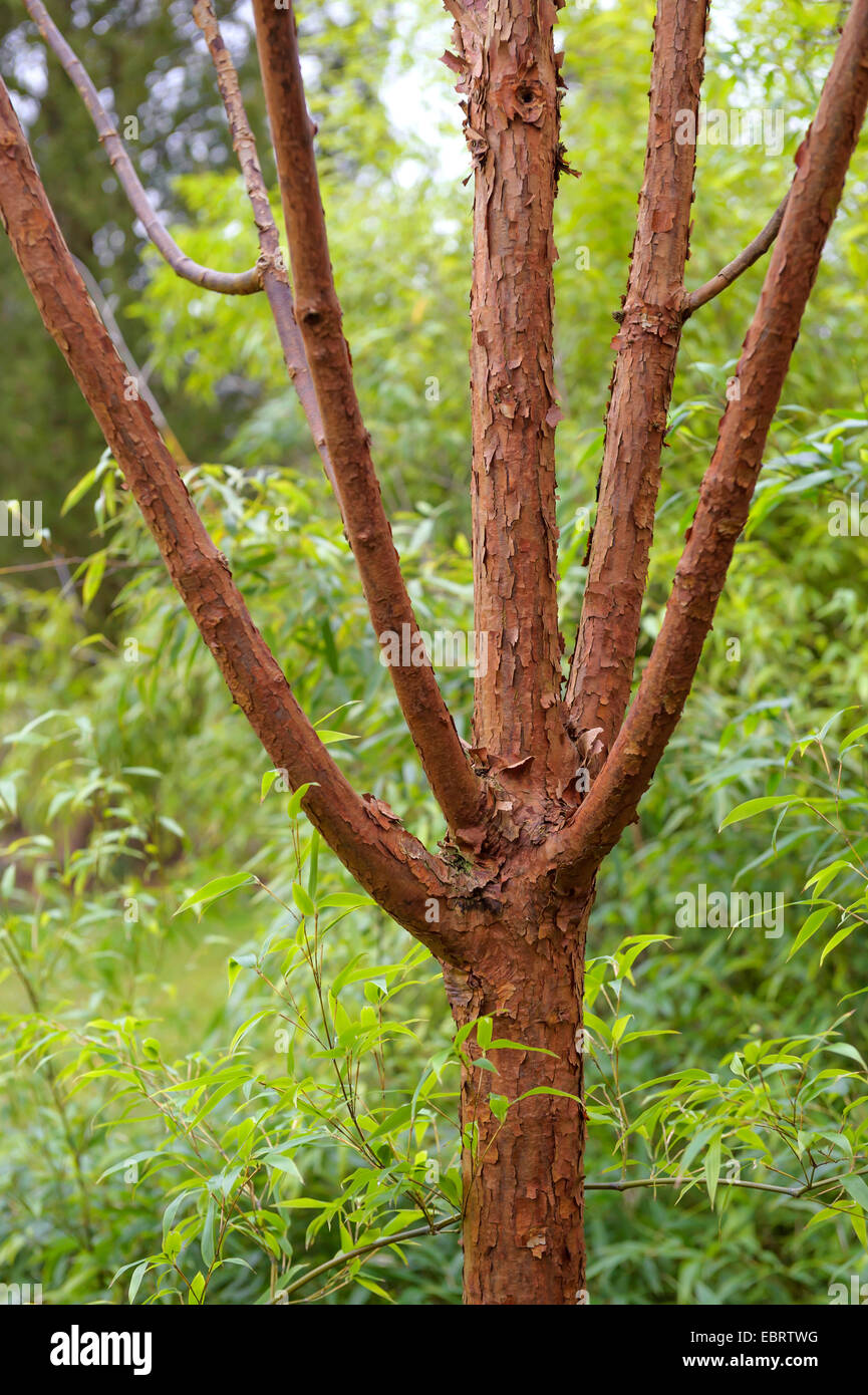paperbark maple (Acer griseum), trunk, Germany, Kurpark - Stock Image