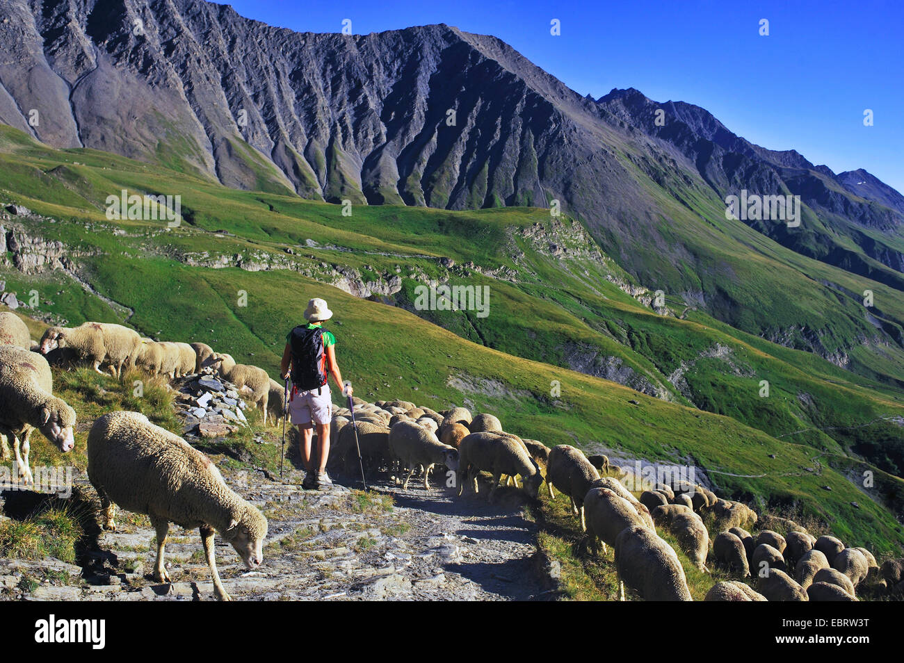 domestic sheep (Ovis ammon f. aries), hiker in a flock of sheep on a mountain path near the Aiguille des Glaciers Stock Photo