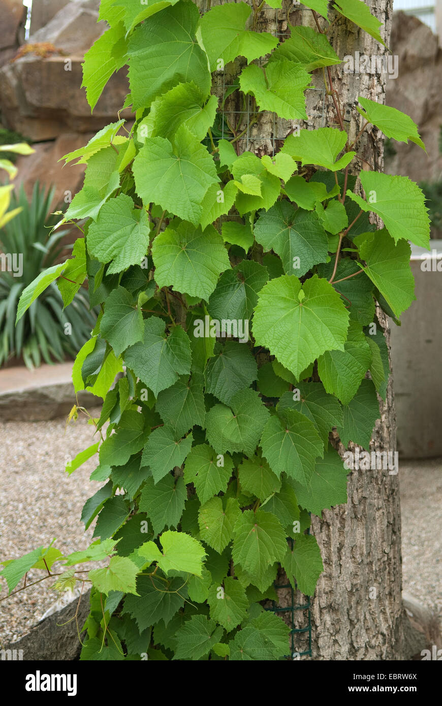 Amur grape (Vitis amurensis), at a tree trunk - Stock Image