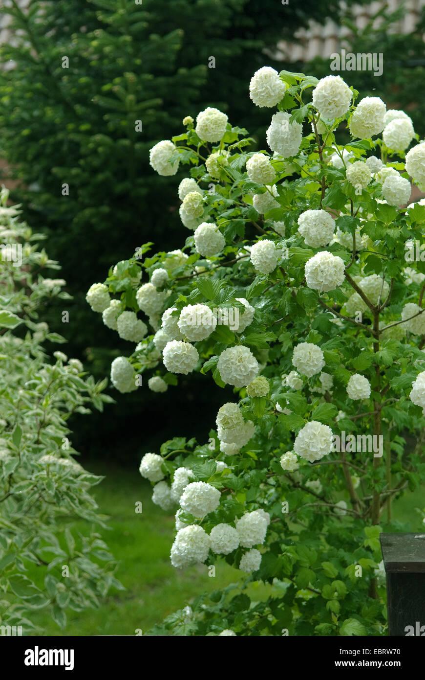 Guelder Rose Viburnum Opulus Roseum