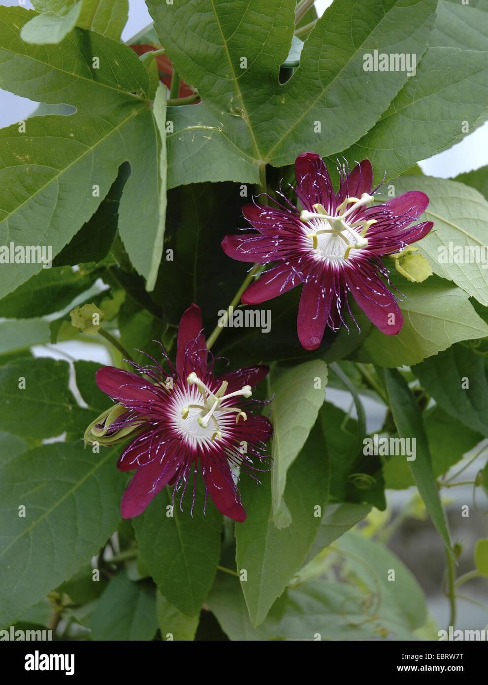 passion flower (Passiflora spec.), with crimson flowers - Stock Image