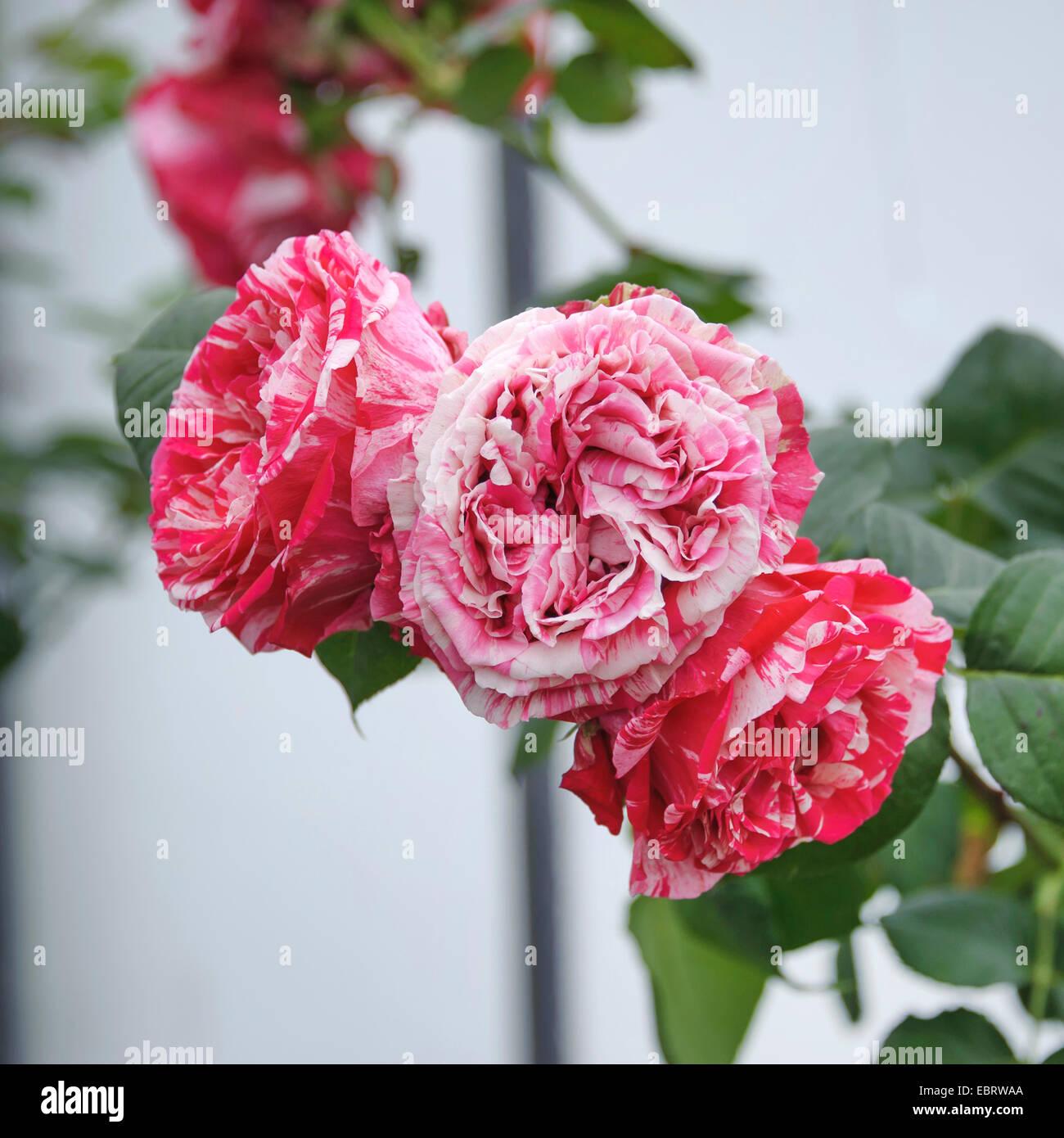 Nostalgie-Rose (Rosa 'Best Impression'), cultivar Best Impression - Stock Image