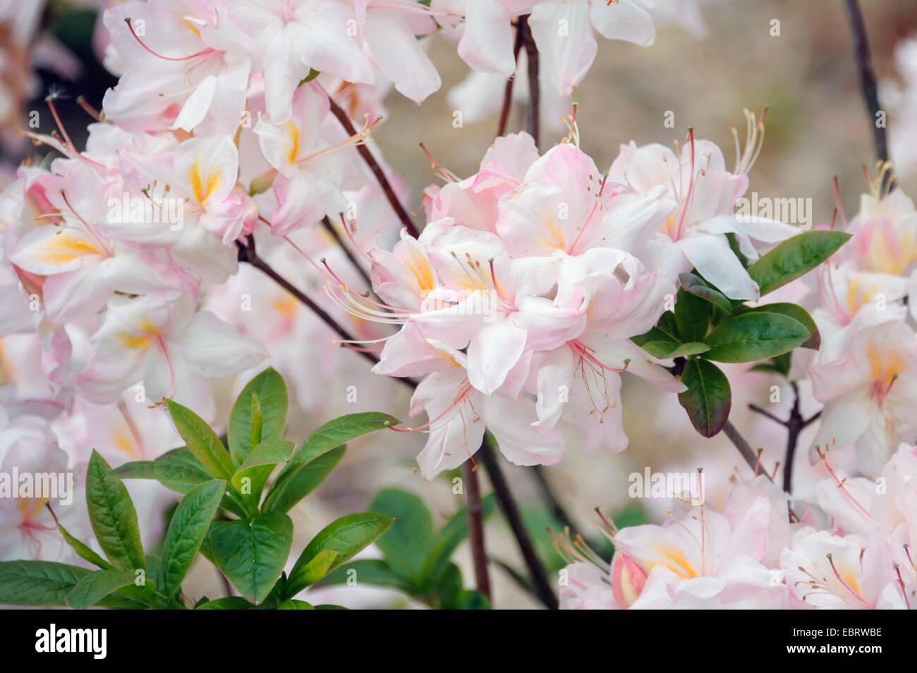 Japanese Azalea (Rhododendron 'Satomi', Rhododendron Satomi), cultivar Satomi - Stock Image