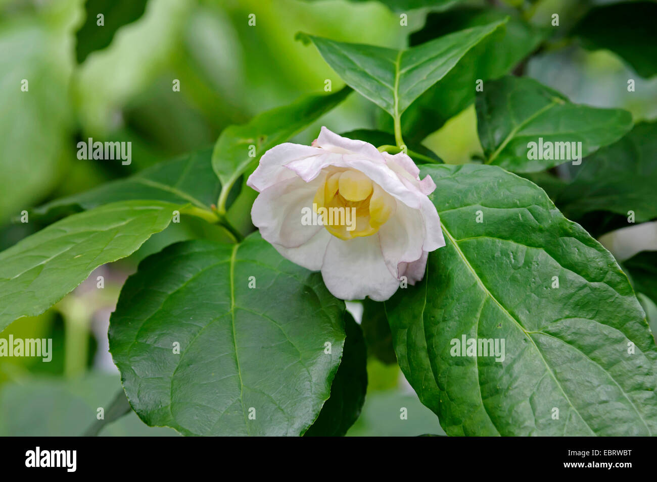 Carolina allspice (Sinocalycanthus chinensis, Calycanthus chinensis), branch with flower, Netherlands, Limburg - Stock Image