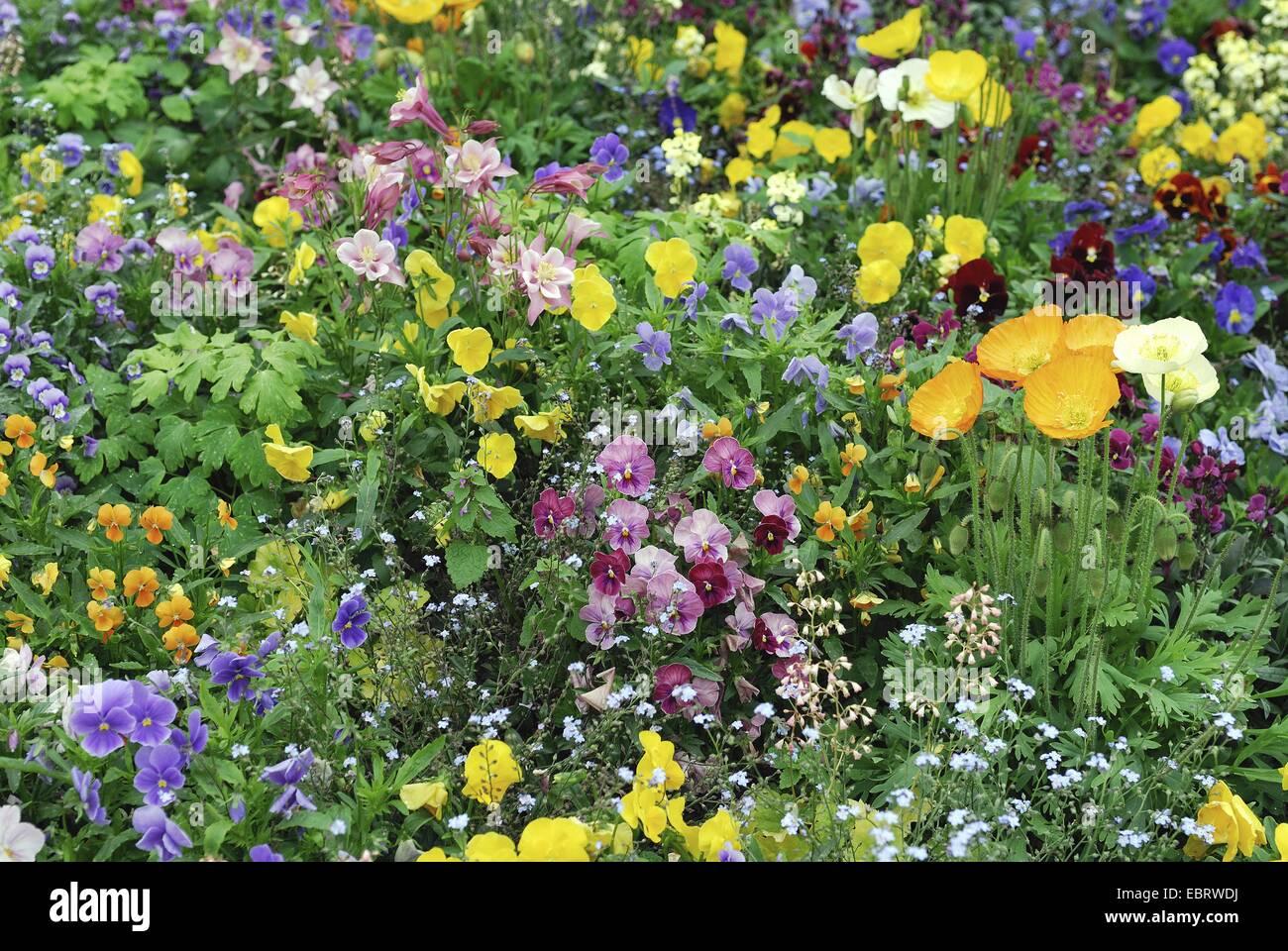 Pansy, Pansy Violet (Viola x wittrockiana, Viola wittrockiana, Viola hybrida), flowerbed in spring - Stock Image