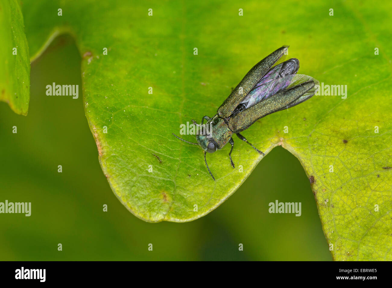 Jewel beetle (Agrilus spec.), sitting in an oak leaf, Germany - Stock Image