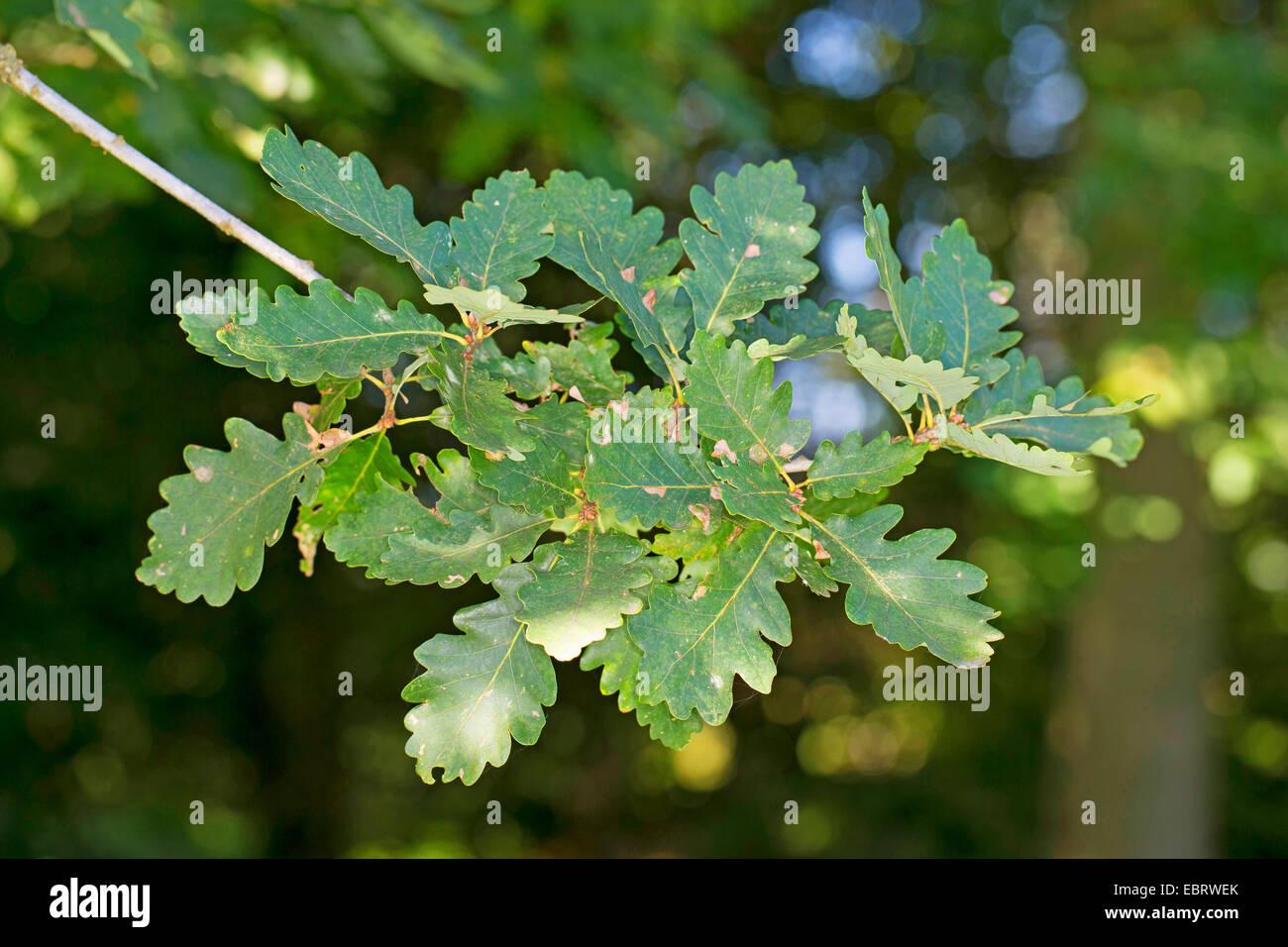 Sessile oak (Quercus petraea, Quercus sessilis, Quercus sessiliflora), branch - Stock Image