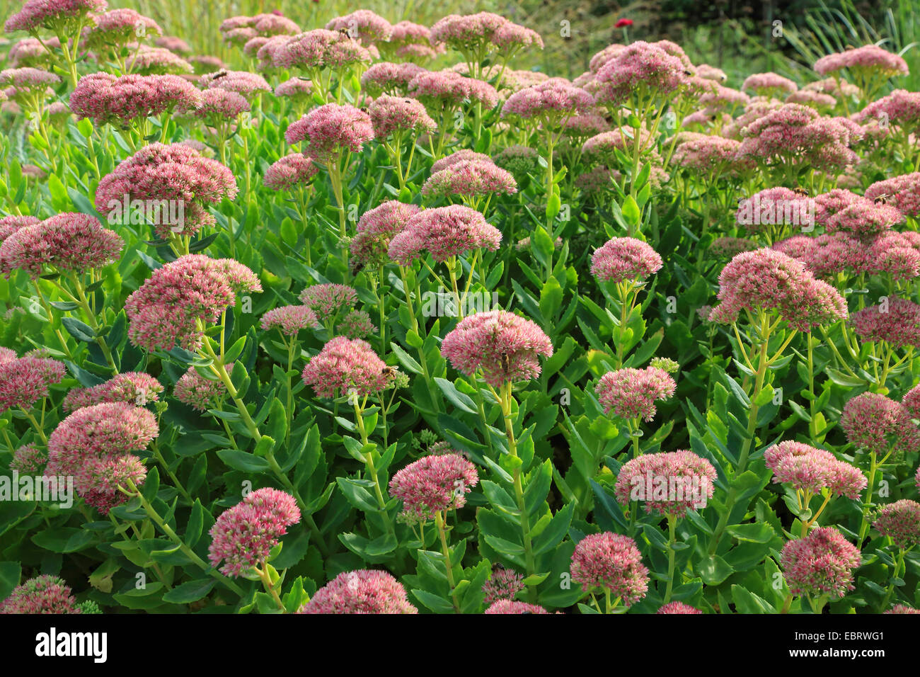 Orpine stonecrop, Garden stonecrop, Live-forever stonecrop (Sedum telephium, Hylotelephium telephium), blooming - Stock Image