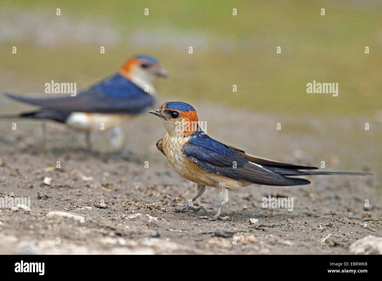 red-rumped swallow (Hirundo daurica), collects nesting material at a waterhole, Bulgaria - Stock Image