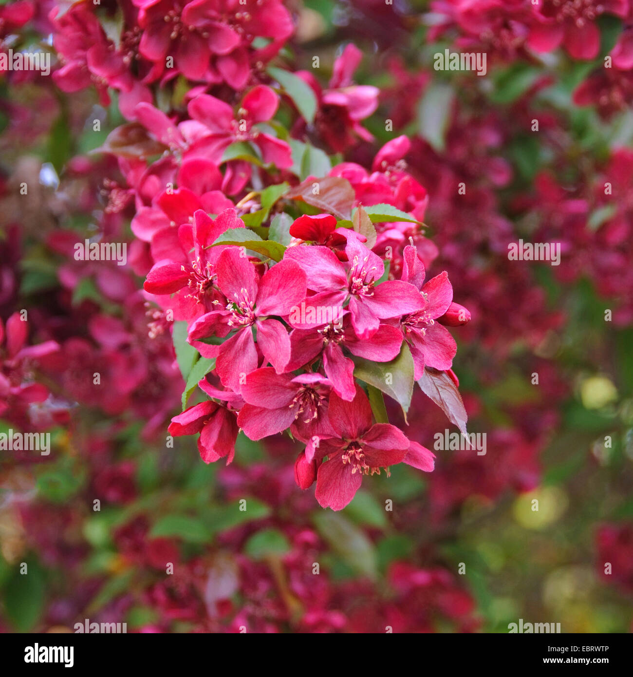 Adams Crabapple (Malus 'Royalty', Malus Royalty), cultivar Royalty - Stock Image