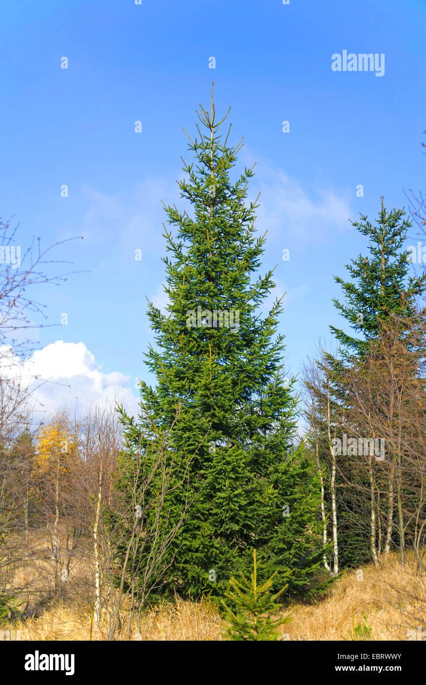 Norway spruce (Picea abies), in Georgenfelder Hochmoor, Germany, Saxony, Georgenfelder Hochmoor - Stock Image
