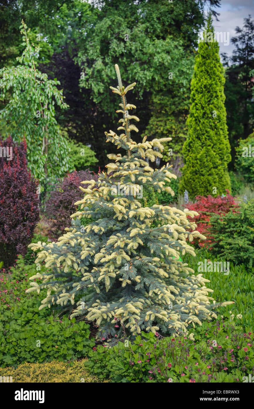 Colorado blue spruce (Picea pungens 'Bialobok'), cultivar Bialobok, Poland, Arboretum Woislowitz Stock Photo
