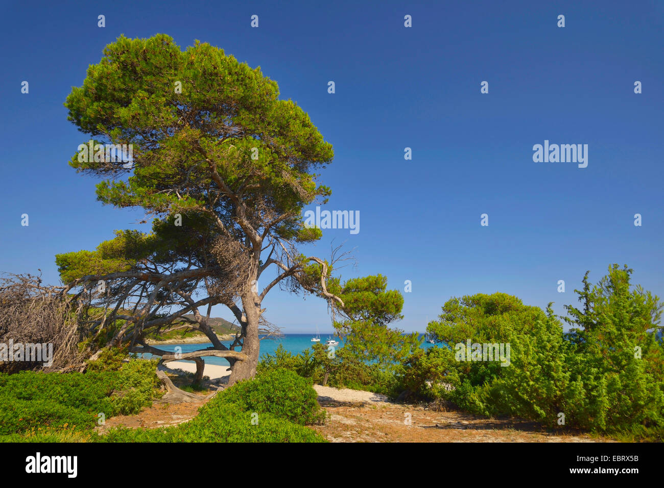 aleppo pine (Pinus halepensis), tree in Saleccia area in desert de Agriates, France, Corsica, Les Agriates, Saint - Stock Image